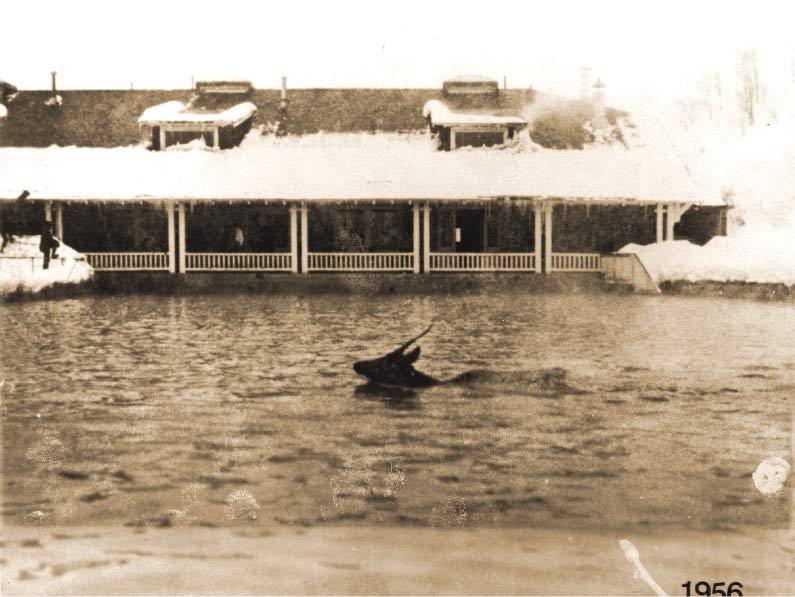 Elk taking a snowy swim in the early morning hours in 1956.